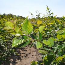 Carpinus betulus 100-125 cm